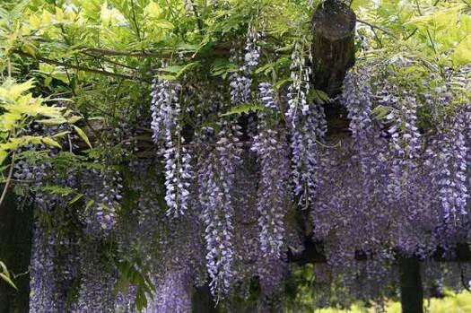 A wisteria vine